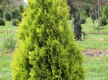 tuja-zapadna-yellow-ribbon-thuja-occidentalis-yellow-ribbon